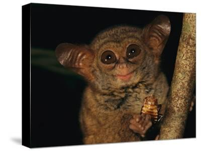 A Tiny Wide-Eyed Tarsier (Tarsius Spectrum) Relishes a Cockroach Snack-Tim Laman-Stretched Canvas Print