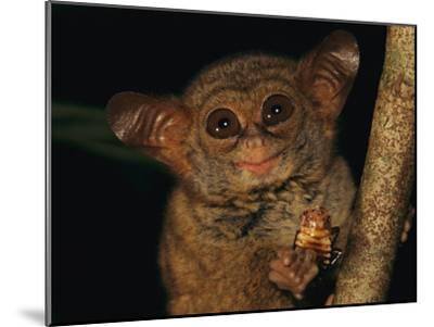 A Tiny Wide-Eyed Tarsier (Tarsius Spectrum) Relishes a Cockroach Snack-Tim Laman-Mounted Photographic Print