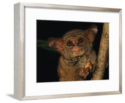 A Tiny Wide-Eyed Tarsier (Tarsius Spectrum) Relishes a Cockroach Snack-Tim Laman-Framed Photographic Print
