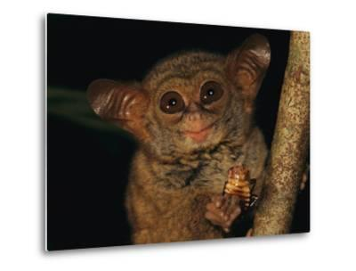 A Tiny Wide-Eyed Tarsier (Tarsius Spectrum) Relishes a Cockroach Snack-Tim Laman-Metal Print