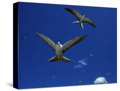 Sooty Terns in Flight in a Blue Sky-Tim Laman-Stretched Canvas Print