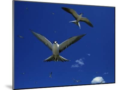 Sooty Terns in Flight in a Blue Sky-Tim Laman-Mounted Photographic Print