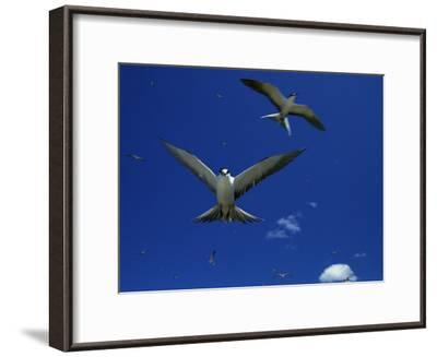 Sooty Terns in Flight in a Blue Sky-Tim Laman-Framed Photographic Print