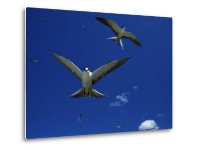 Sooty Terns in Flight in a Blue Sky-Tim Laman-Metal Print