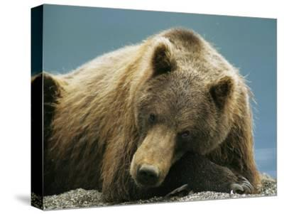 A Brown Bear Lounging on a Shore-Klaus Nigge-Stretched Canvas Print