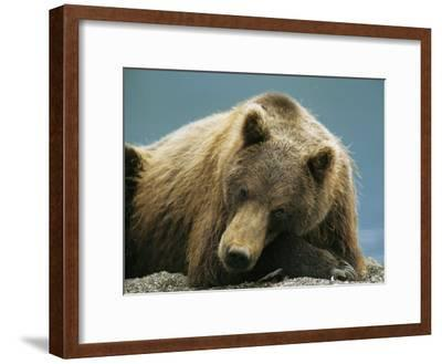 A Brown Bear Lounging on a Shore-Klaus Nigge-Framed Photographic Print