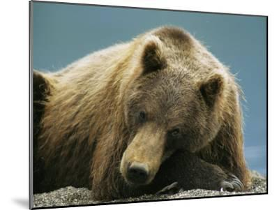 A Brown Bear Lounging on a Shore-Klaus Nigge-Mounted Photographic Print