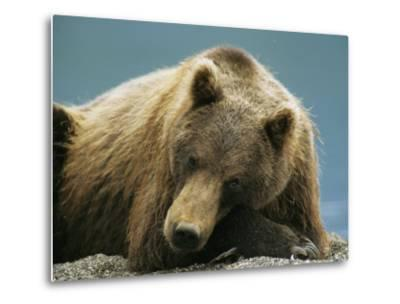 A Brown Bear Lounging on a Shore-Klaus Nigge-Metal Print