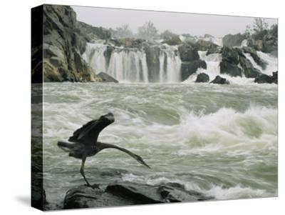 Great Blue Heron Stretches its Neck toward the Potomac River-Skip Brown-Stretched Canvas Print