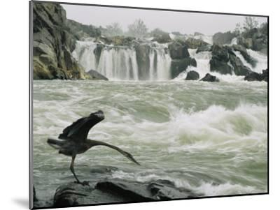 Great Blue Heron Stretches its Neck toward the Potomac River-Skip Brown-Mounted Photographic Print