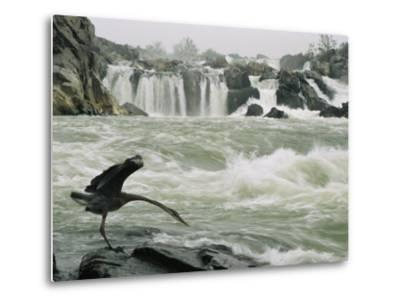 Great Blue Heron Stretches its Neck toward the Potomac River-Skip Brown-Metal Print