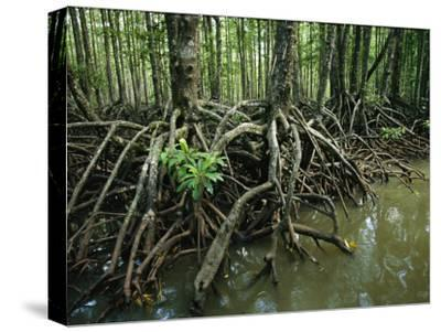 Detail of Mangrove Roots at the Waters Edge-Tim Laman-Stretched Canvas Print