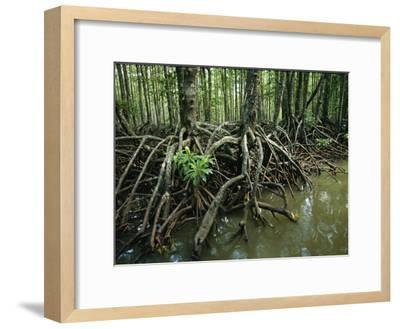 Detail of Mangrove Roots at the Waters Edge-Tim Laman-Framed Photographic Print