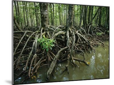 Detail of Mangrove Roots at the Waters Edge-Tim Laman-Mounted Photographic Print