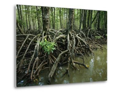 Detail of Mangrove Roots at the Waters Edge-Tim Laman-Metal Print