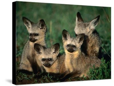Bat-Eared Fox Pups (Octocyon Megalotis) in Their Den, Serengeti National Park, Tanzania-Ariadne Van Zandbergen-Stretched Canvas Print