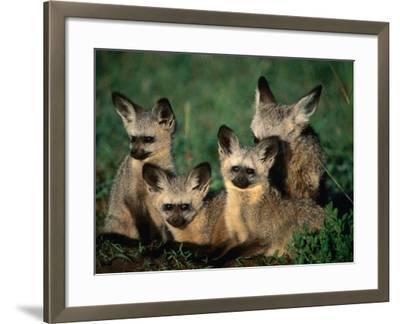 Bat-Eared Fox Pups (Octocyon Megalotis) in Their Den, Serengeti National Park, Tanzania-Ariadne Van Zandbergen-Framed Photographic Print