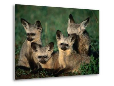 Bat-Eared Fox Pups (Octocyon Megalotis) in Their Den, Serengeti National Park, Tanzania-Ariadne Van Zandbergen-Metal Print