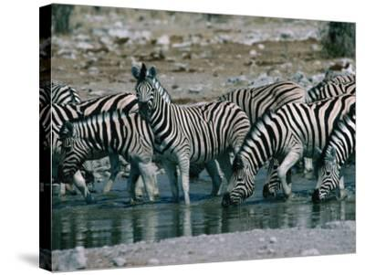 Zebras (Equus Zebra) Drinking in River, Etosha National Park, Namibia-Dennis Jones-Stretched Canvas Print