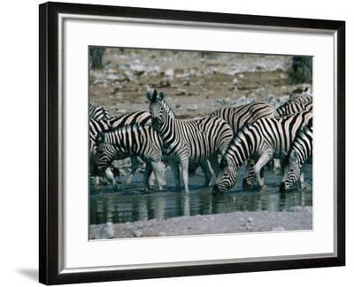 Zebras (Equus Zebra) Drinking in River, Etosha National Park, Namibia-Dennis Jones-Framed Photographic Print