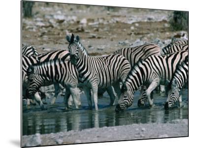 Zebras (Equus Zebra) Drinking in River, Etosha National Park, Namibia-Dennis Jones-Mounted Photographic Print