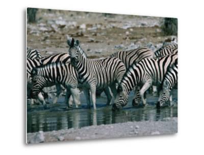 Zebras (Equus Zebra) Drinking in River, Etosha National Park, Namibia-Dennis Jones-Metal Print