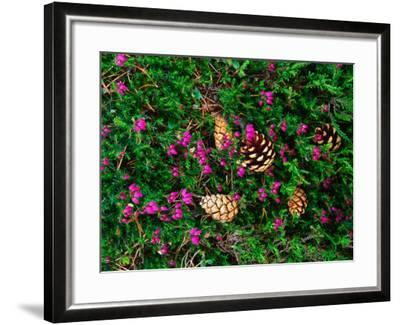 Heather and Scots Pine (Pinus Sylvestris), the Cairngorms, Scotland-Grant Dixon-Framed Photographic Print