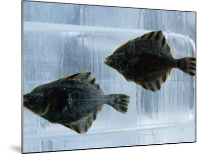 Pair of Fish Frozen in Ice for the Sapporo Yuki Matsuri (Snow Festival), Sapporo, Hokkaido, Japan,-Oliver Strewe-Mounted Photographic Print