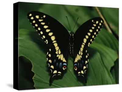 A Close View of a Tiger Swallowtail Butterfly-Medford Taylor-Stretched Canvas Print