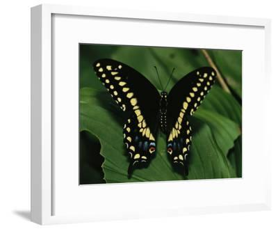 A Close View of a Tiger Swallowtail Butterfly-Medford Taylor-Framed Photographic Print