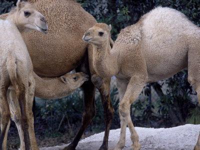 Camels-Henry Horenstein-Framed Photographic Print