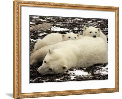 Polar Bear, Mother and Cubs, Ursus Maritimus-Yvette Cardozo-Framed Photographic Print