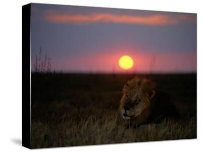 A Male Lion Pictured at Sunset-Beverly Joubert-Stretched Canvas Print