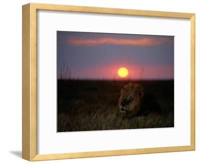 A Male Lion Pictured at Sunset-Beverly Joubert-Framed Photographic Print