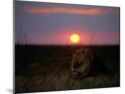A Male Lion Pictured at Sunset-Beverly Joubert-Mounted Photographic Print