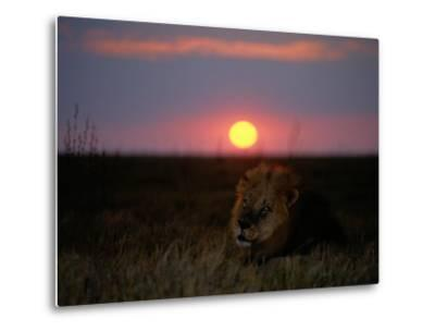 A Male Lion Pictured at Sunset-Beverly Joubert-Metal Print