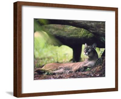 A Florida panther-Melissa Farlow-Framed Photographic Print