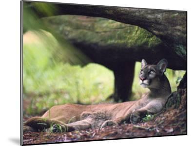 A Florida panther-Melissa Farlow-Mounted Photographic Print