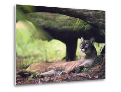 A Florida panther-Melissa Farlow-Metal Print