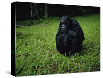 Chimpanzee in the Rain-Michael Nichols-Stretched Canvas Print