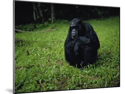 Chimpanzee in the Rain-Michael Nichols-Mounted Photographic Print