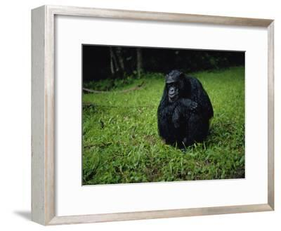 Chimpanzee in the Rain-Michael Nichols-Framed Photographic Print