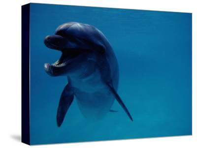 A Bottlenose Dolphin Swims in the Aquarium at Sea Life Park-Chris Johns-Stretched Canvas Print