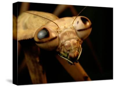 The Eyes and Mandibles of a Mantid-George Grall-Stretched Canvas Print
