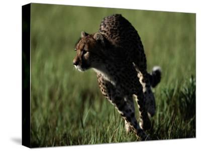 An African Cheetah Running in the Grass-Chris Johns-Stretched Canvas Print