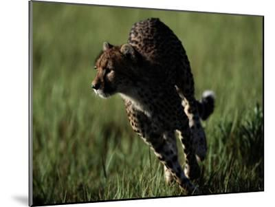 An African Cheetah Running in the Grass-Chris Johns-Mounted Photographic Print