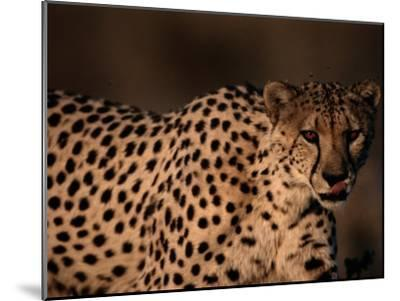 A Portrait of a Hungry African Cheetah-Chris Johns-Mounted Photographic Print