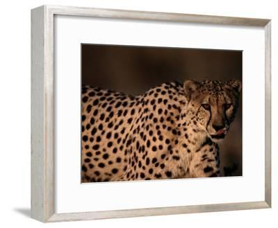 A Portrait of a Hungry African Cheetah-Chris Johns-Framed Photographic Print