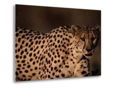 A Portrait of a Hungry African Cheetah-Chris Johns-Metal Print
