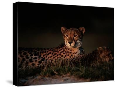 A Female African Cheetah and Her Cub Rest Together in the Early Evening-Chris Johns-Stretched Canvas Print